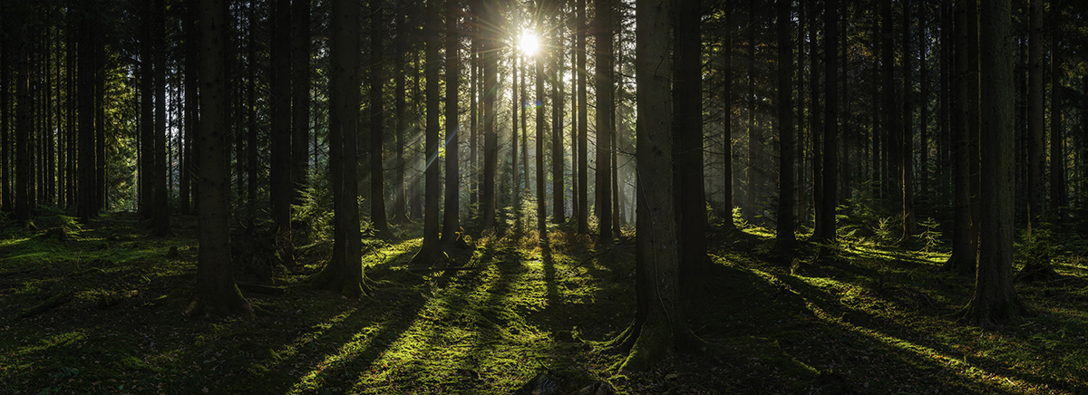 Sunlight filtering through green forest