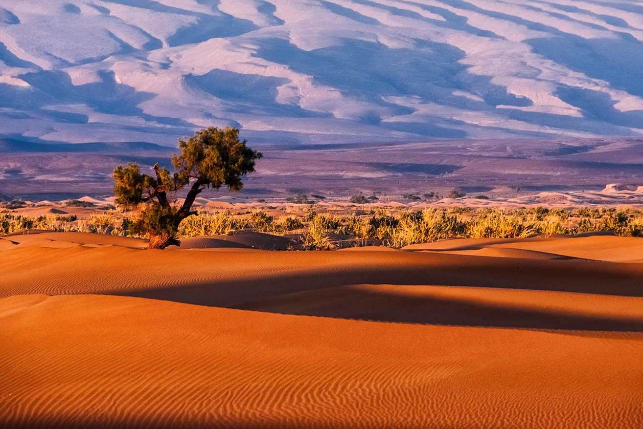 Solitary tree in desert with sand dunes in background