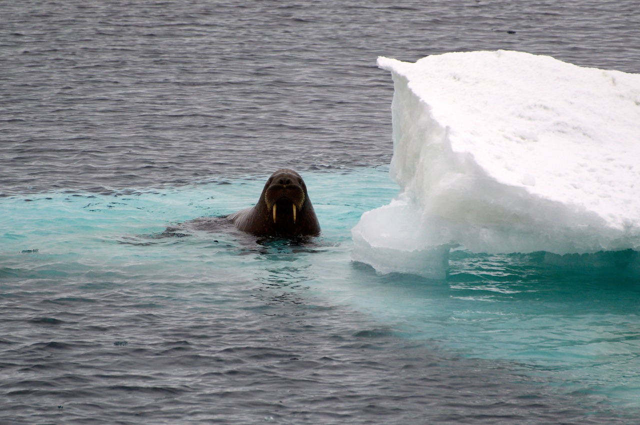 walrus on an icebreg in the Arctic