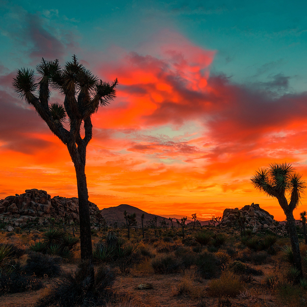 Sunset in the desert with joshua trees