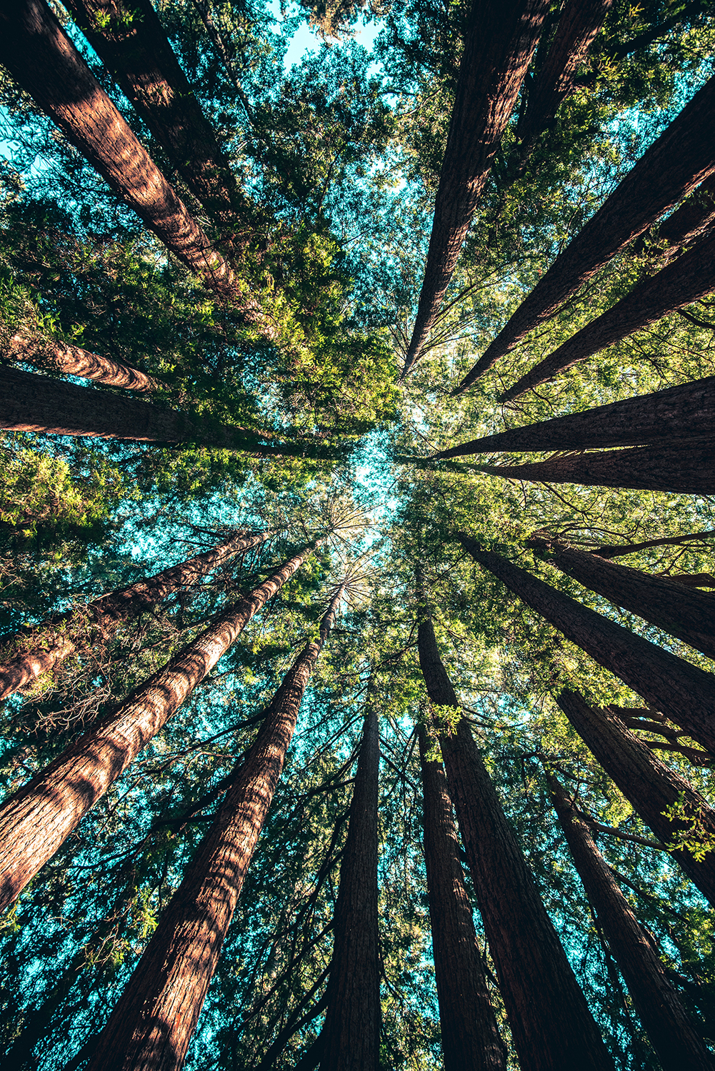 Looking up to canopy of pine trees